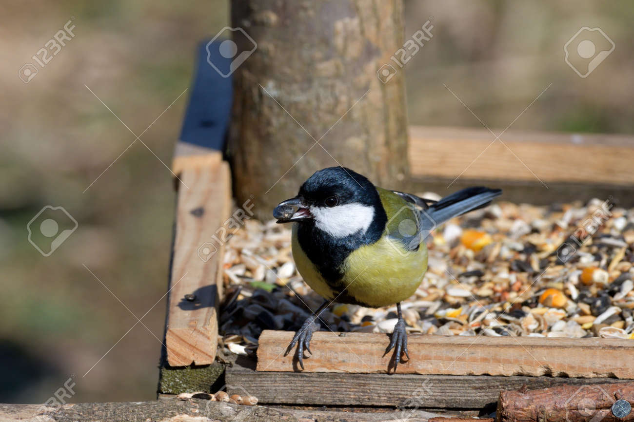 Portriat of great titmouse sitting and eating on the feeder rack in sunny spring - 170153623