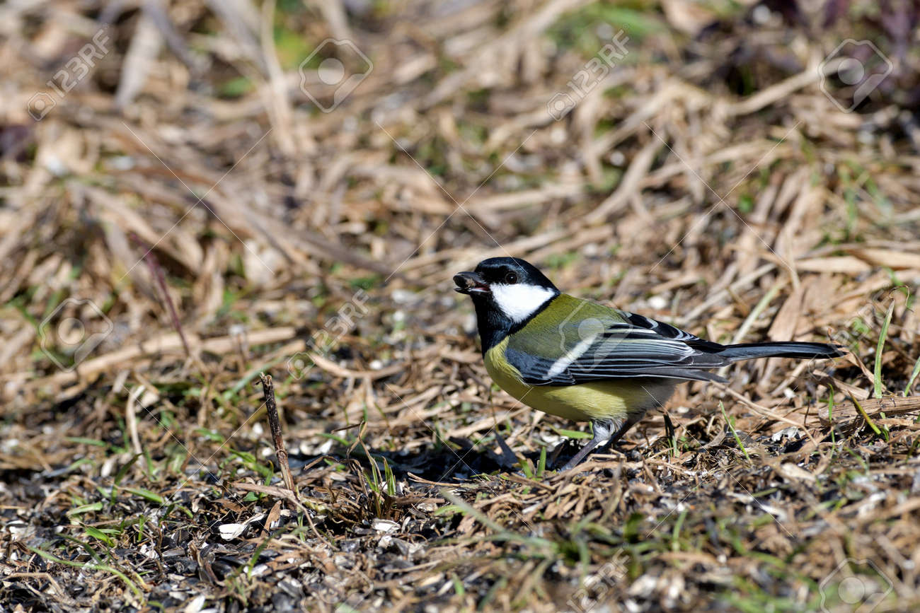 The great tit walks on the grass and eats sunflower seeds fallen from the feed - 170153626