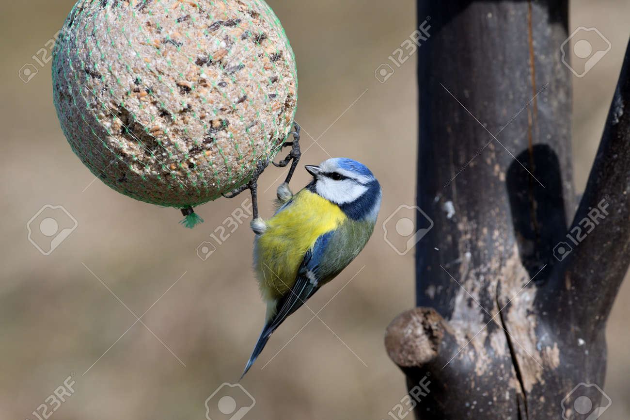 Eurasian blue tit hanging and eating tallow ball with seeds in spring - 170153627