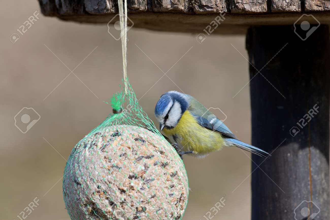 Eurasian blue tit hanging and eating tallow ball with seeds in spring - 170153629