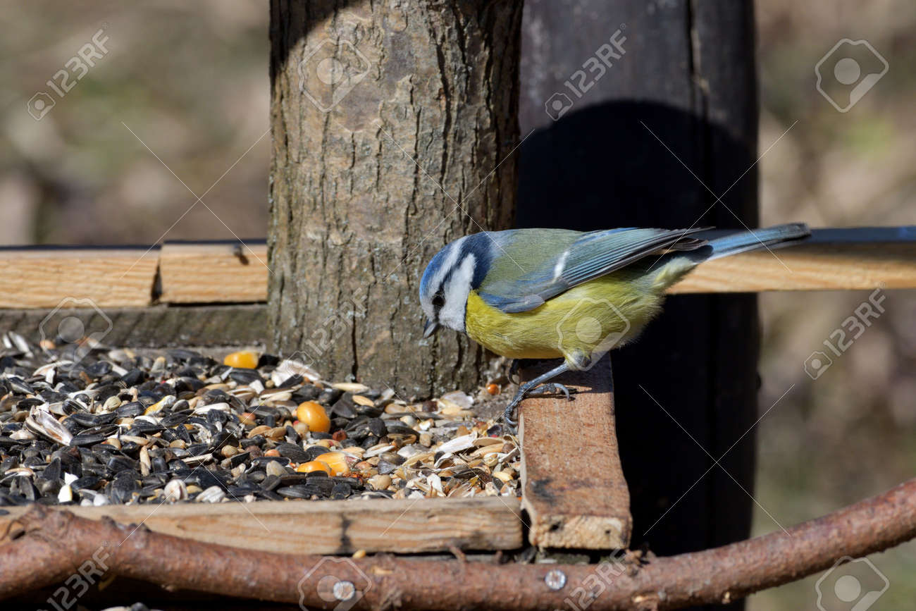Portrait of blue tit sitting and eating on the feeder rack in spring - 170153631