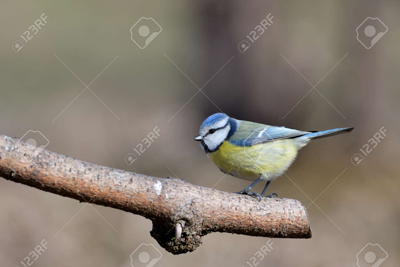Blue tit sitting on a branch near forest in autumn - 170153634