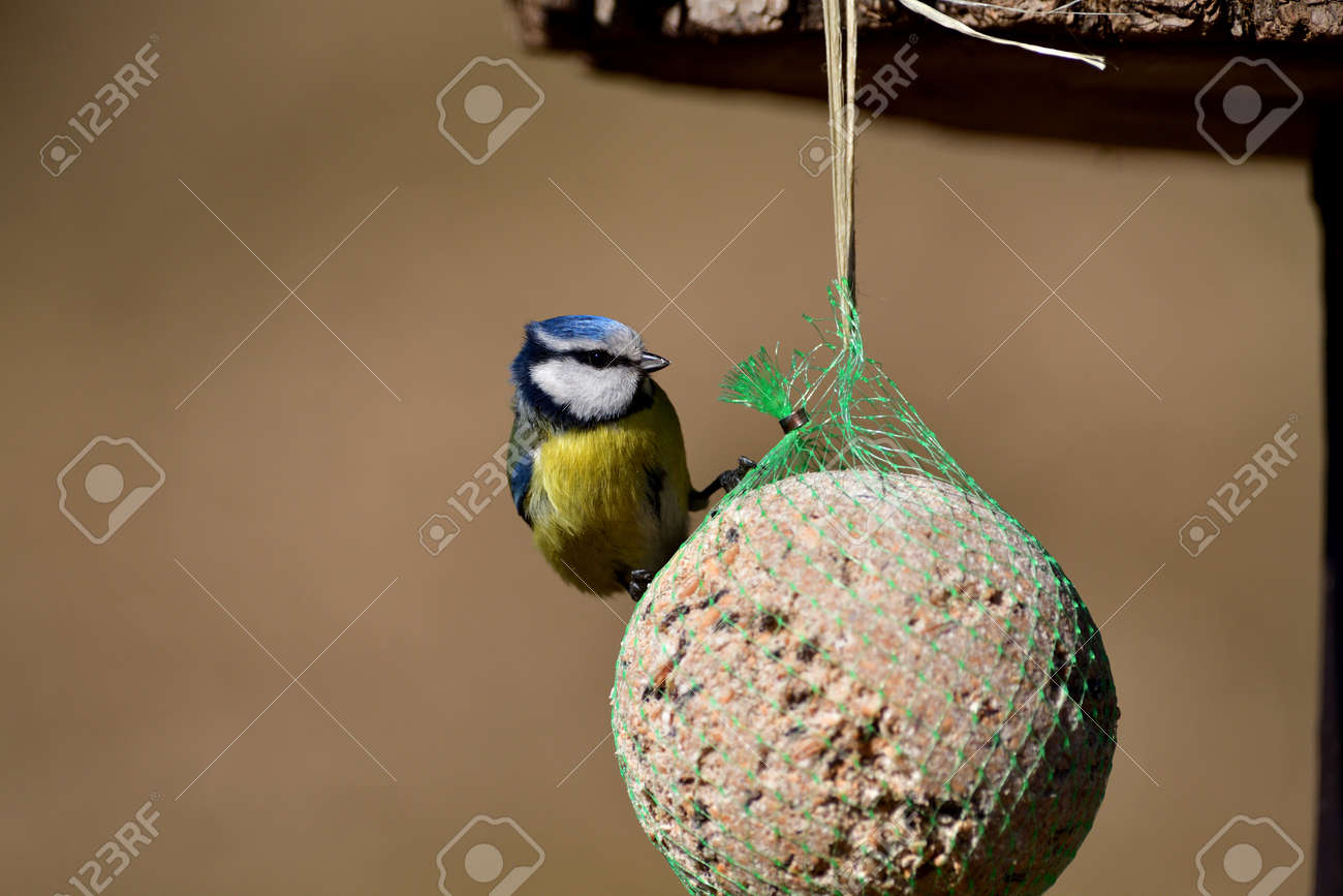 Eurasian blue tit hanging and eating tallow ball with seeds in spring - 170153635