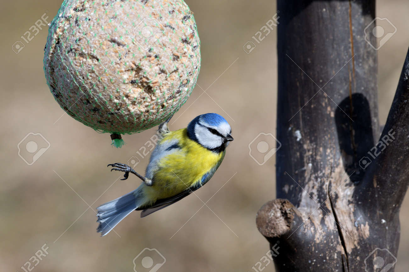 Eurasian blue tit hanging and eating tallow ball with seeds in spring - 170153638