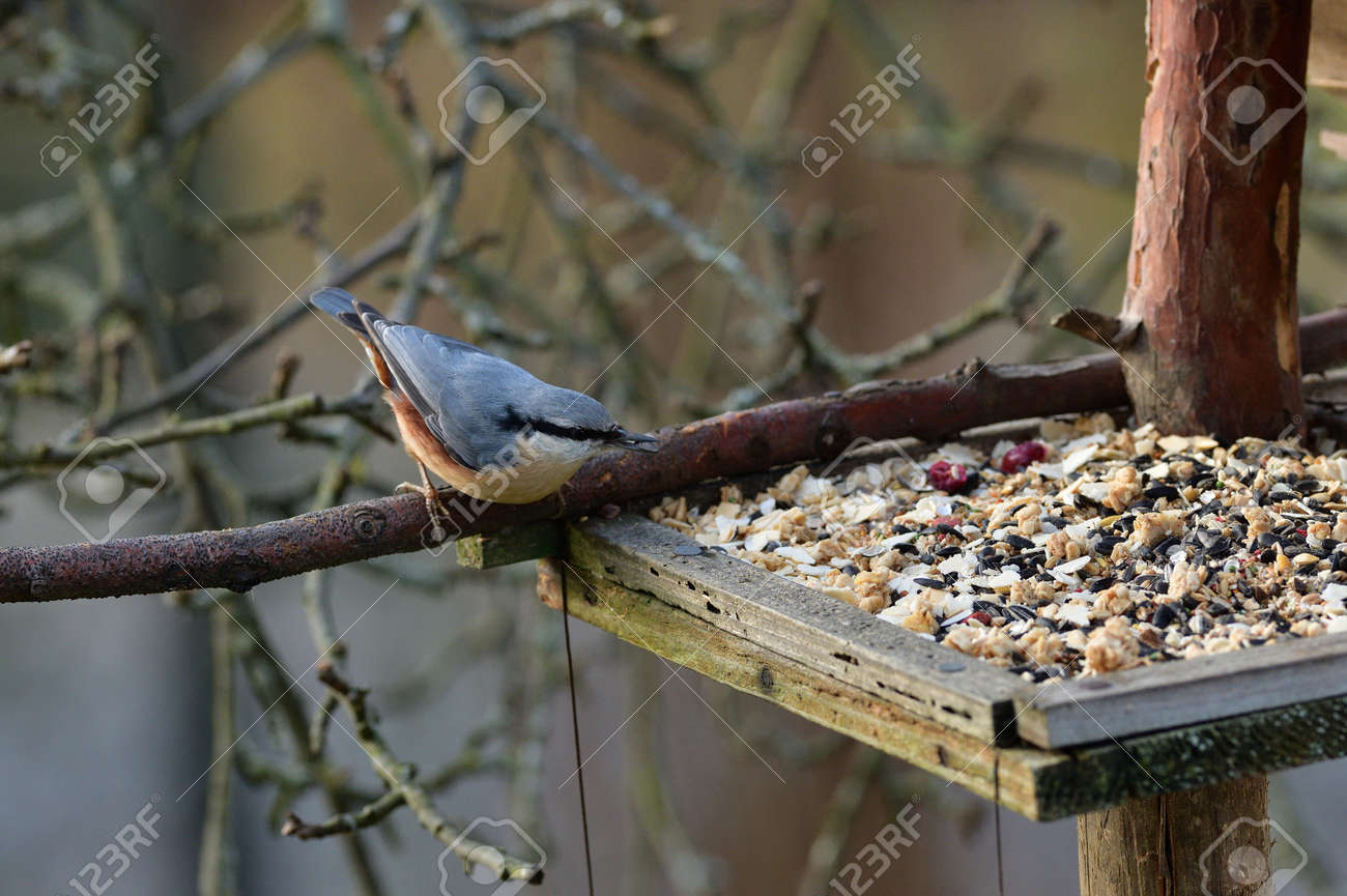 Portrait of a eurasian nuthatch eating on a feeder rack seeds and sunflowers - 170153644