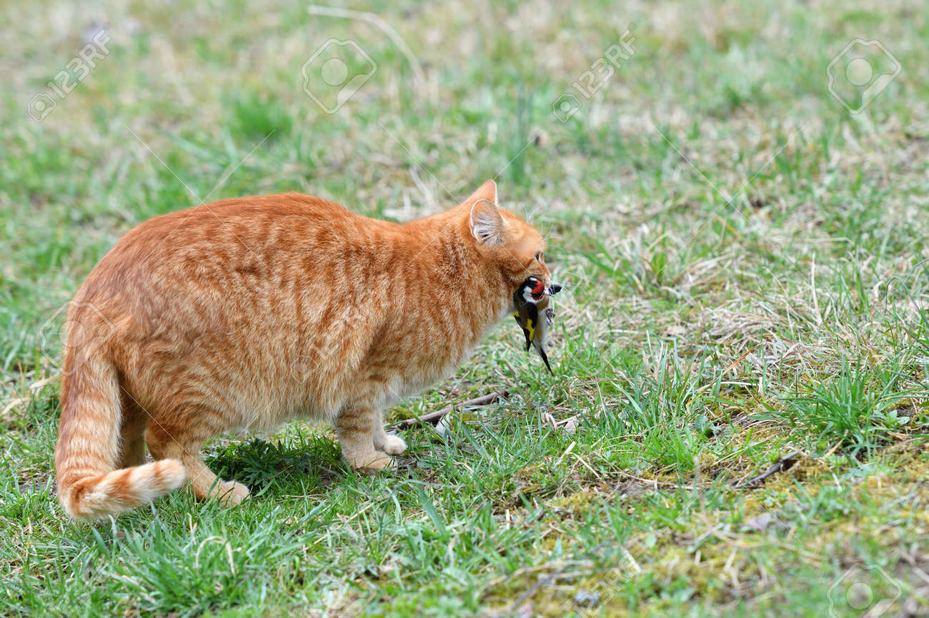 The domestic red cat caught the bird and holds it in its mouth - 170154021