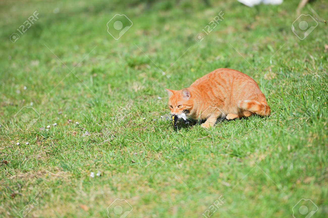 Domestic cats have an instinct by nature to hunt small garden birds - 170154024