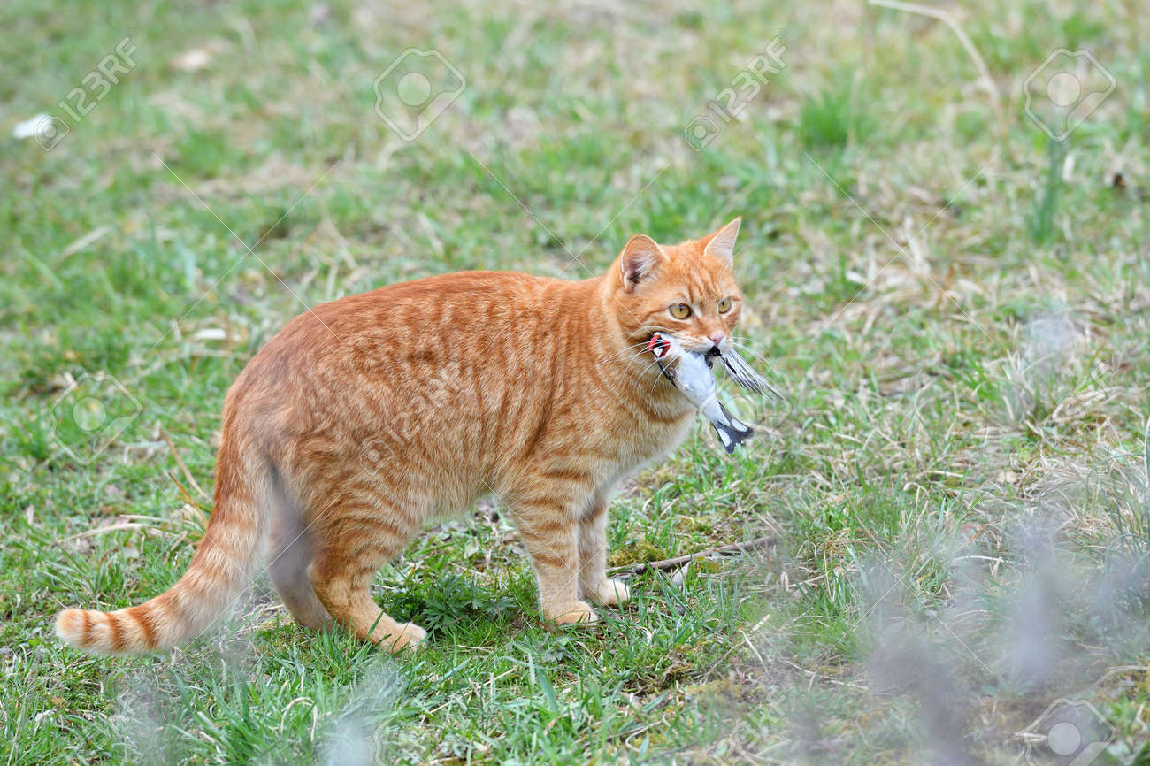 A domestic red cat caught a bird in the garden - 170154028