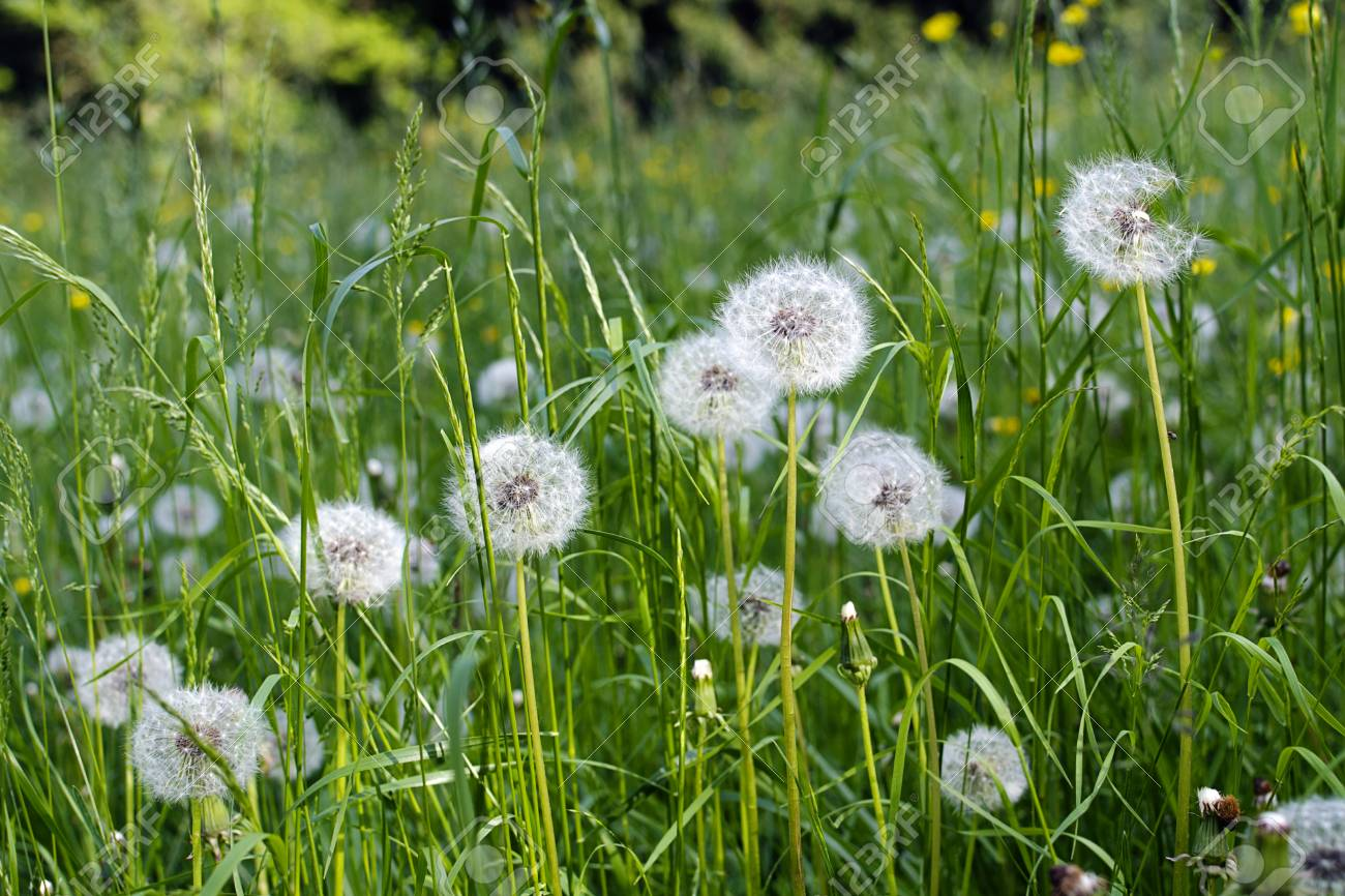 White Dandelion Flowers In Long Grass On A Wild Meadow Stock Photo