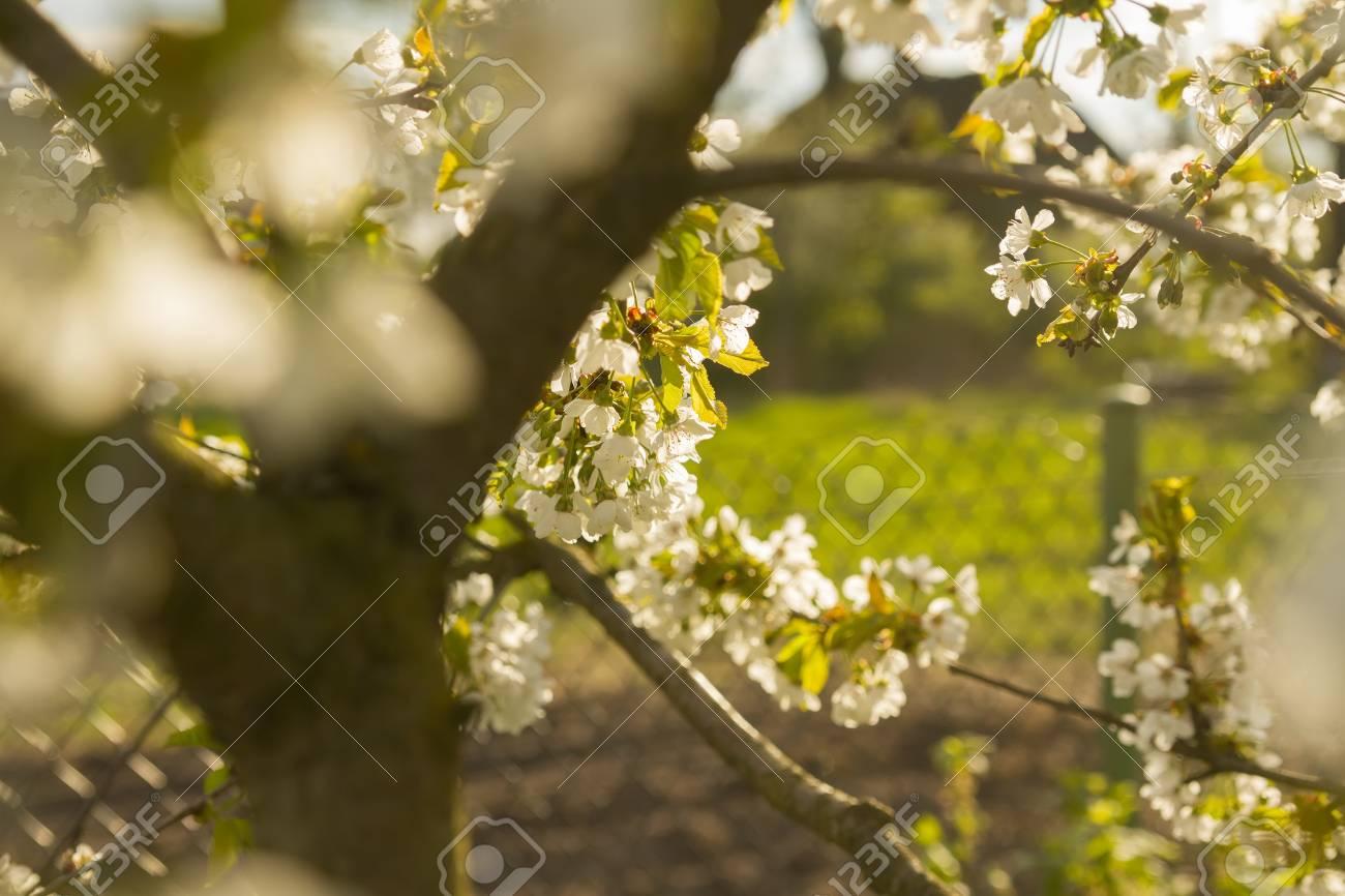 田舎の果樹園でリンゴの花の木の壁紙 の写真素材 画像素材 Image