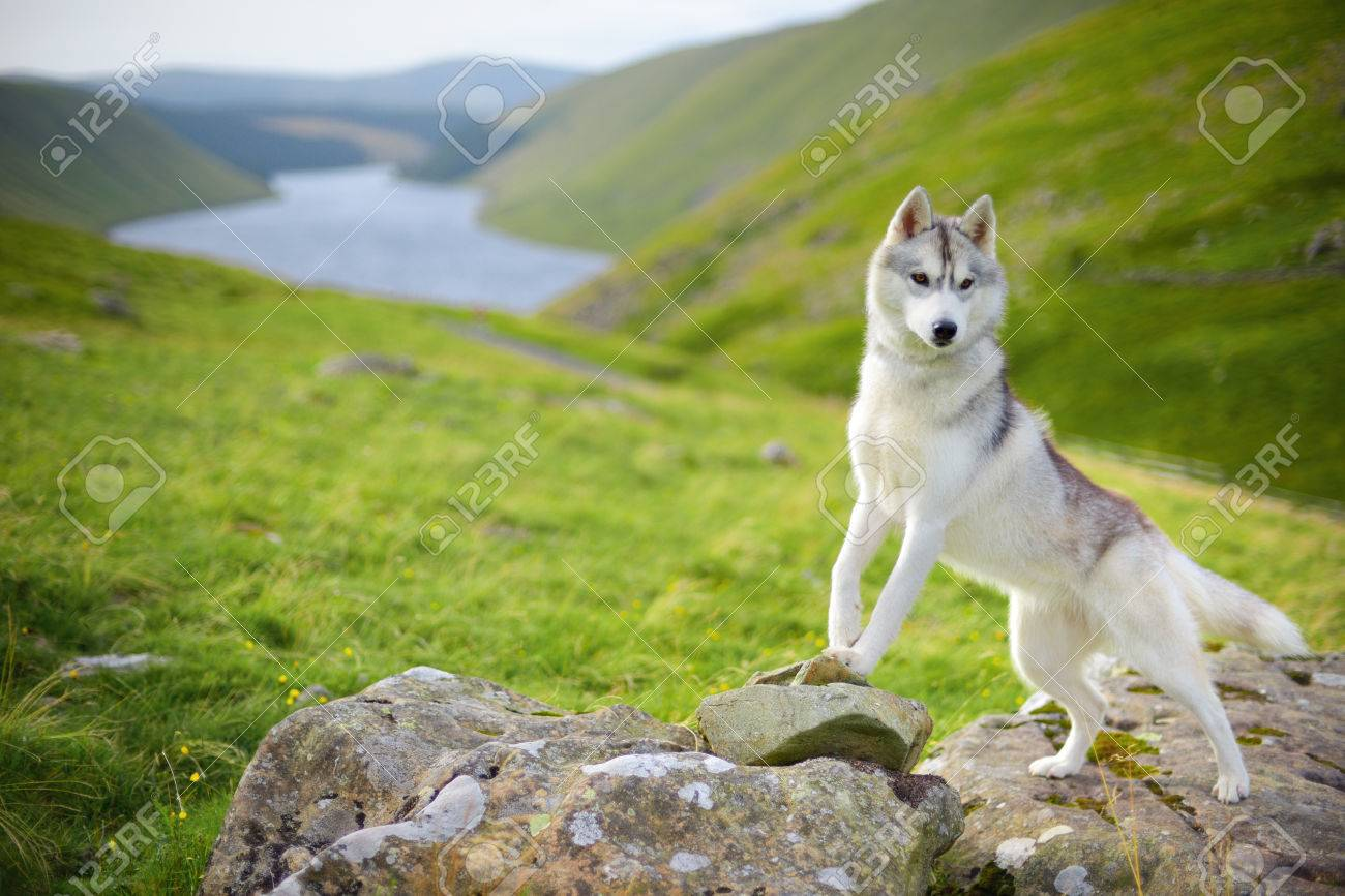 portrait of siberian husky dog talla scotland uk stock photo
