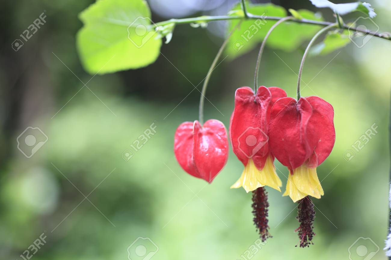 Trailing Abutilon Flowers Stock Photo Picture And Royalty Free