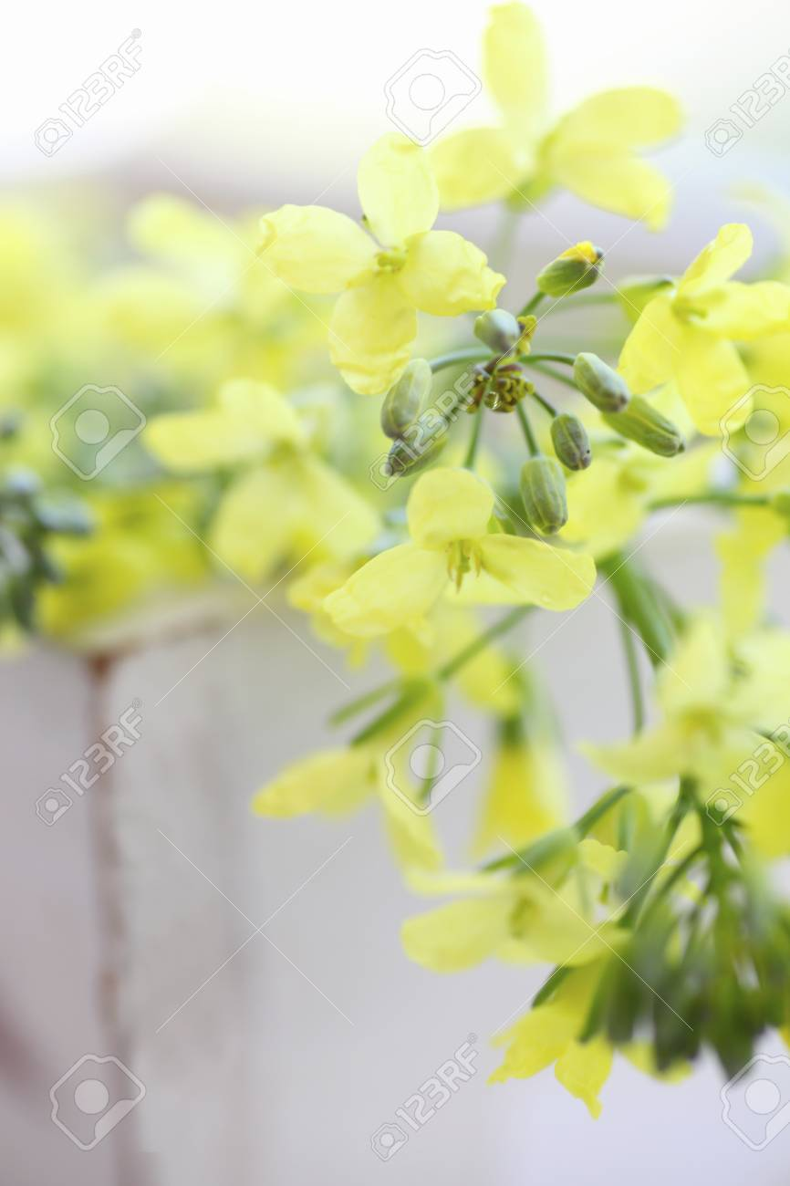 Yellow Flowers Of Broccoli Stock Photo Picture And Royalty Free