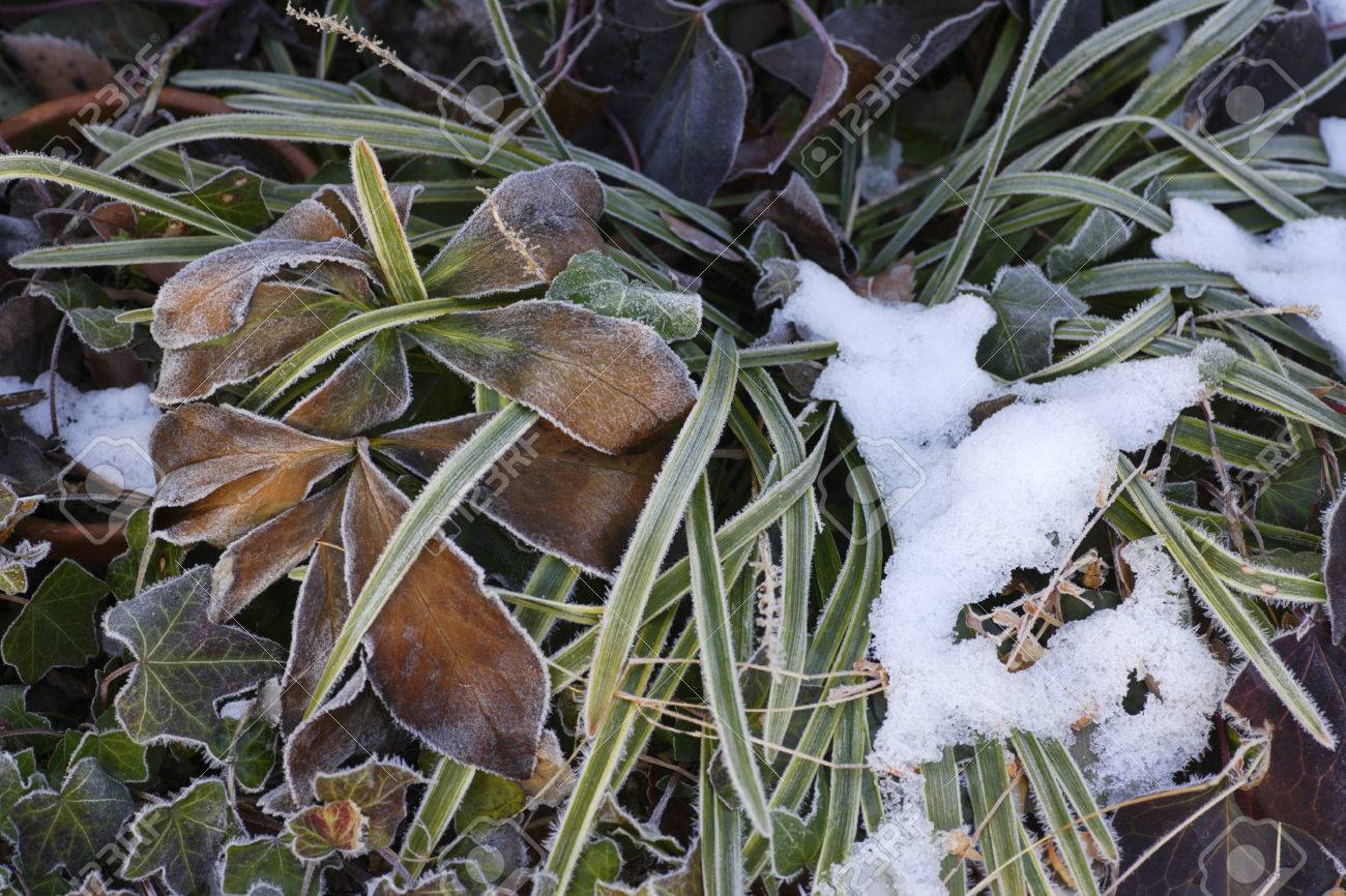 Liriope Muscari Garden Snow Remains Stock Photo Picture And Royalty