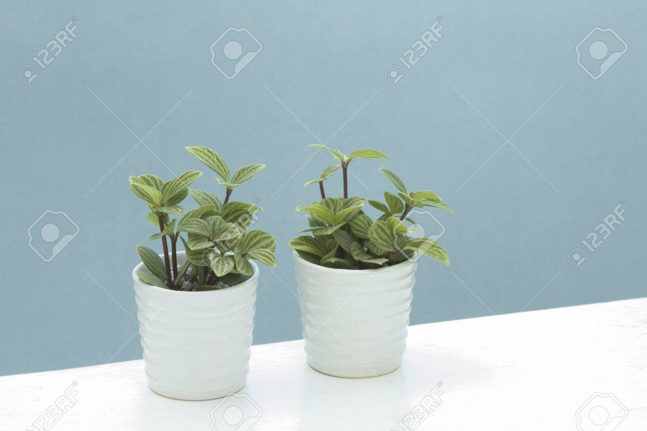 Houseplants PeperomiaPuteorata Stock Photo Picture And Royalty