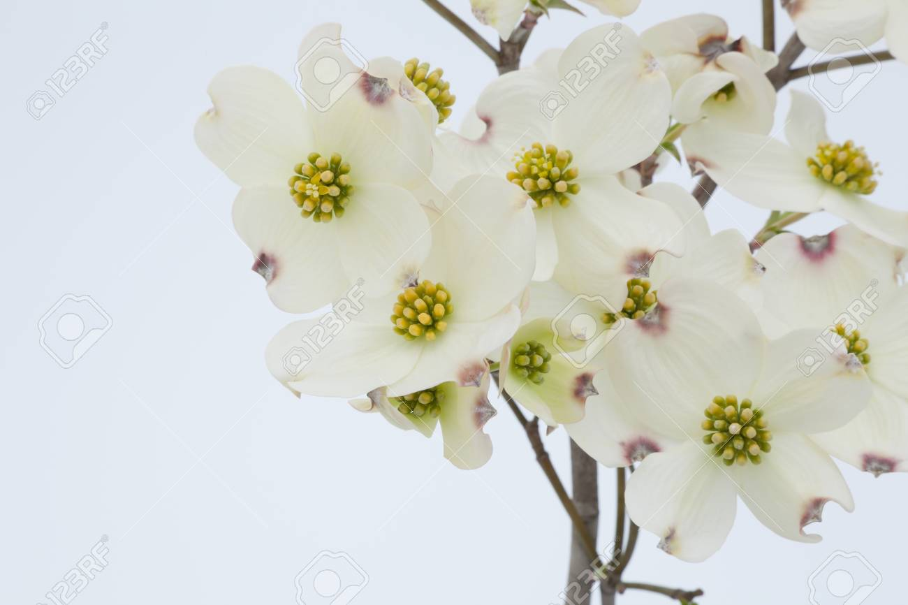White Dogwood Flowers Stock Photo Picture And Royalty Free Image