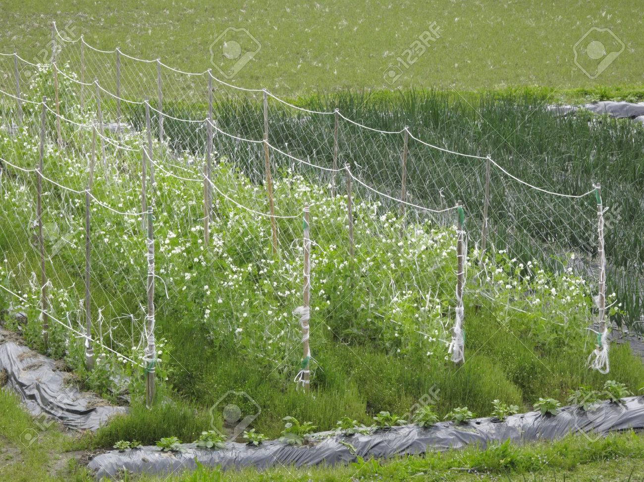 栽培 の エンドウ 豆