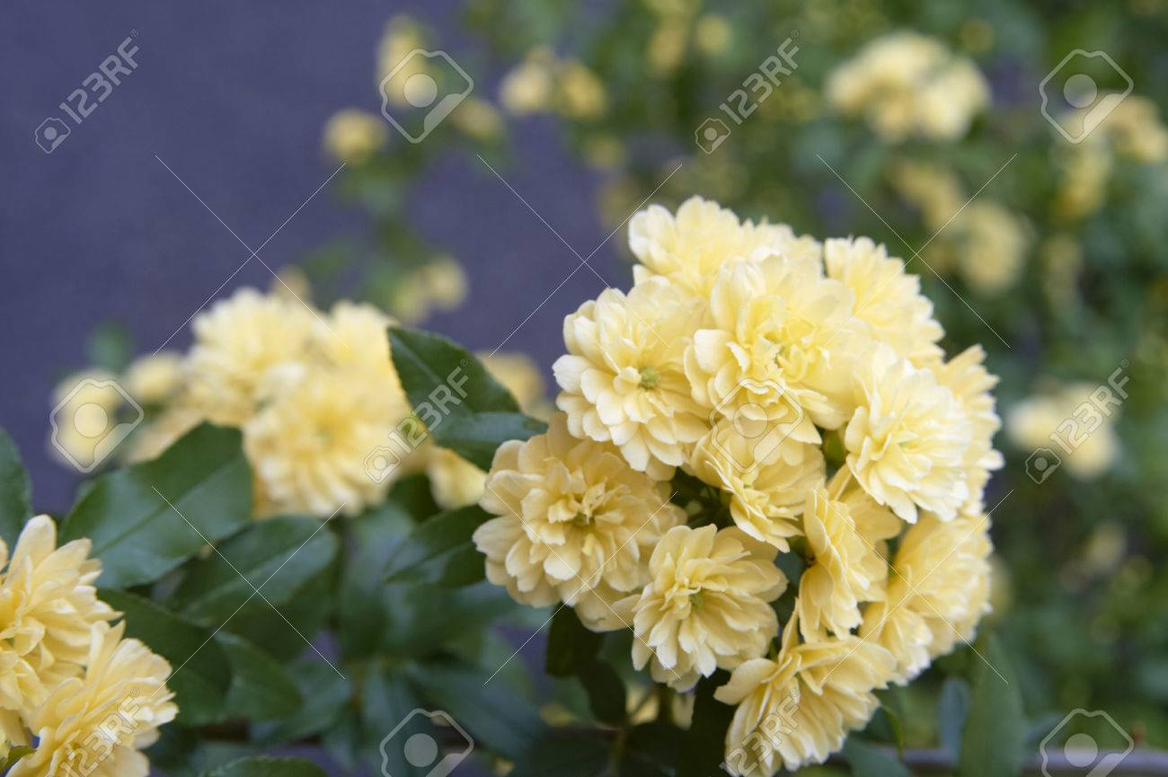 Pale yellow flowers up of banksia rose stock photo picture and pale yellow flowers up of banksia rose stock photo 46243883 mightylinksfo