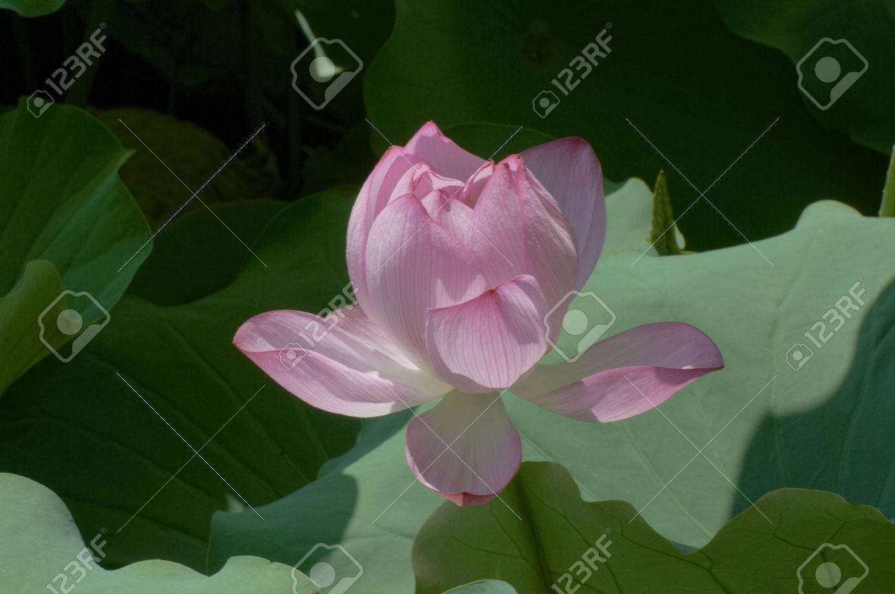 About to fully open the open likely lotus flower stock photo about to fully open the open likely lotus flower stock photo 46846694 izmirmasajfo Choice Image