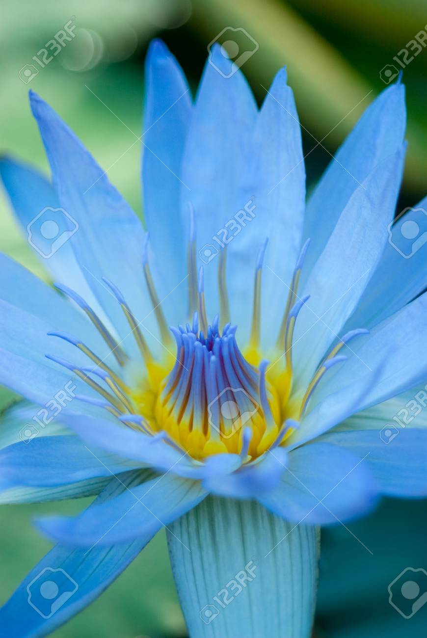 Blue Lotus Flower Stock Photo Picture And Royalty Free Image Image