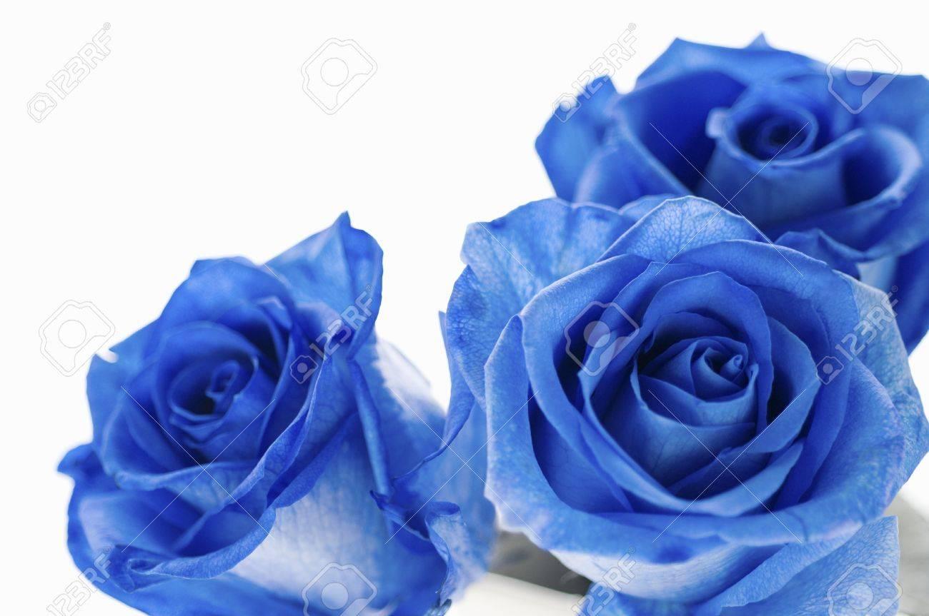 青いバラ の写真素材 画像素材 Image