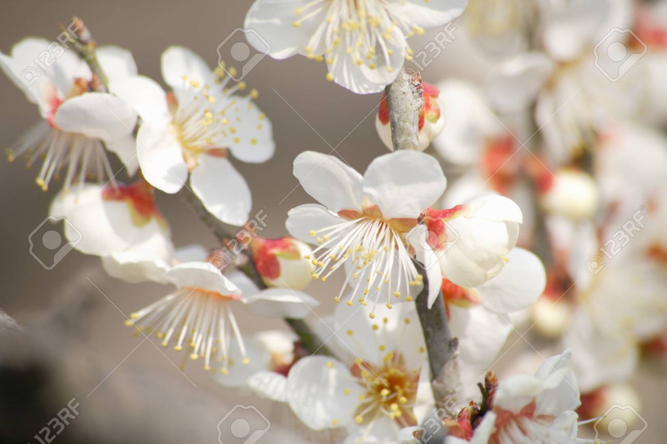 White plum flowers stock photo picture and royalty free image stock photo white plum flowers mightylinksfo