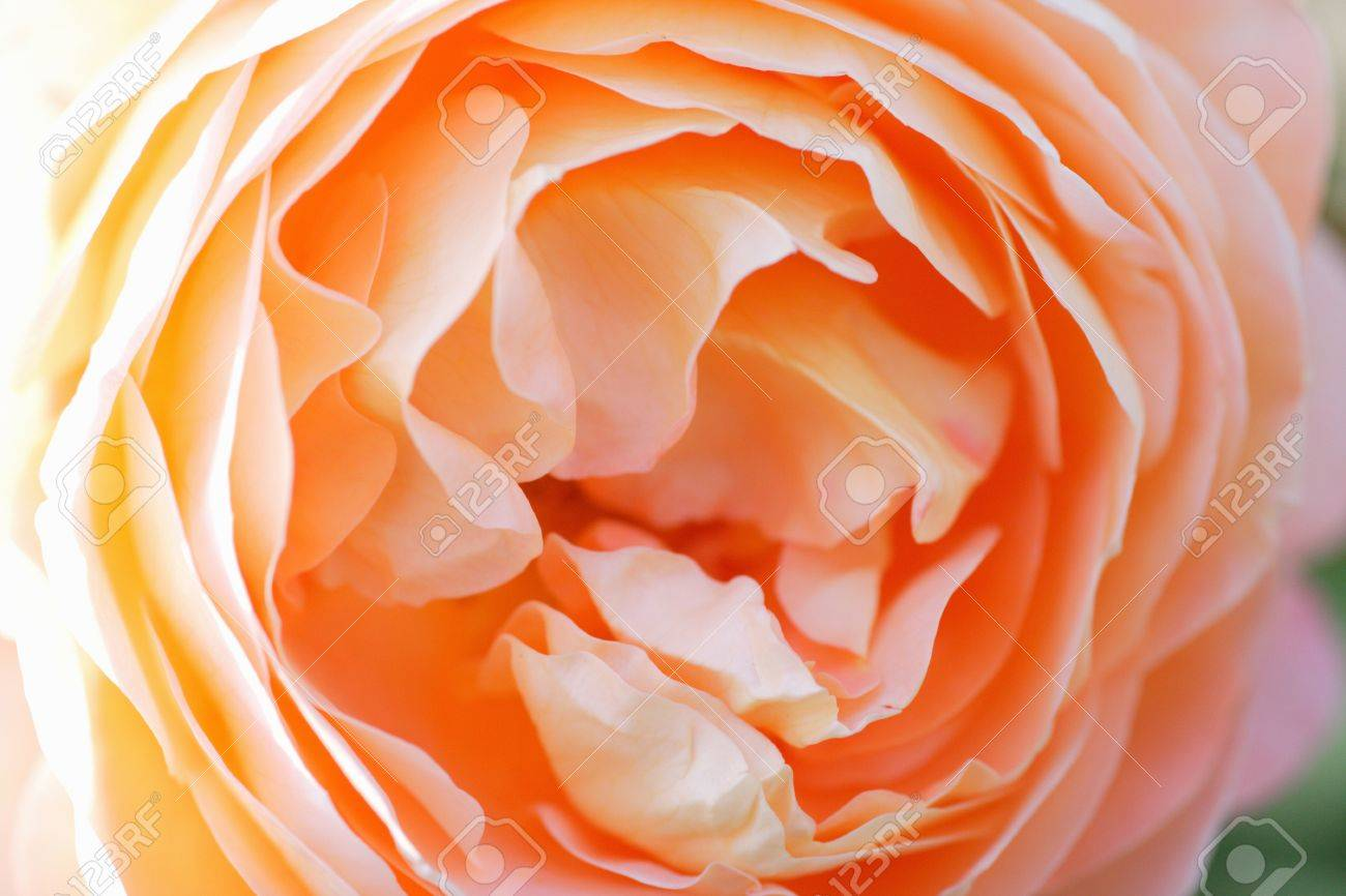 apricot color roses stock photo picture and royalty free image