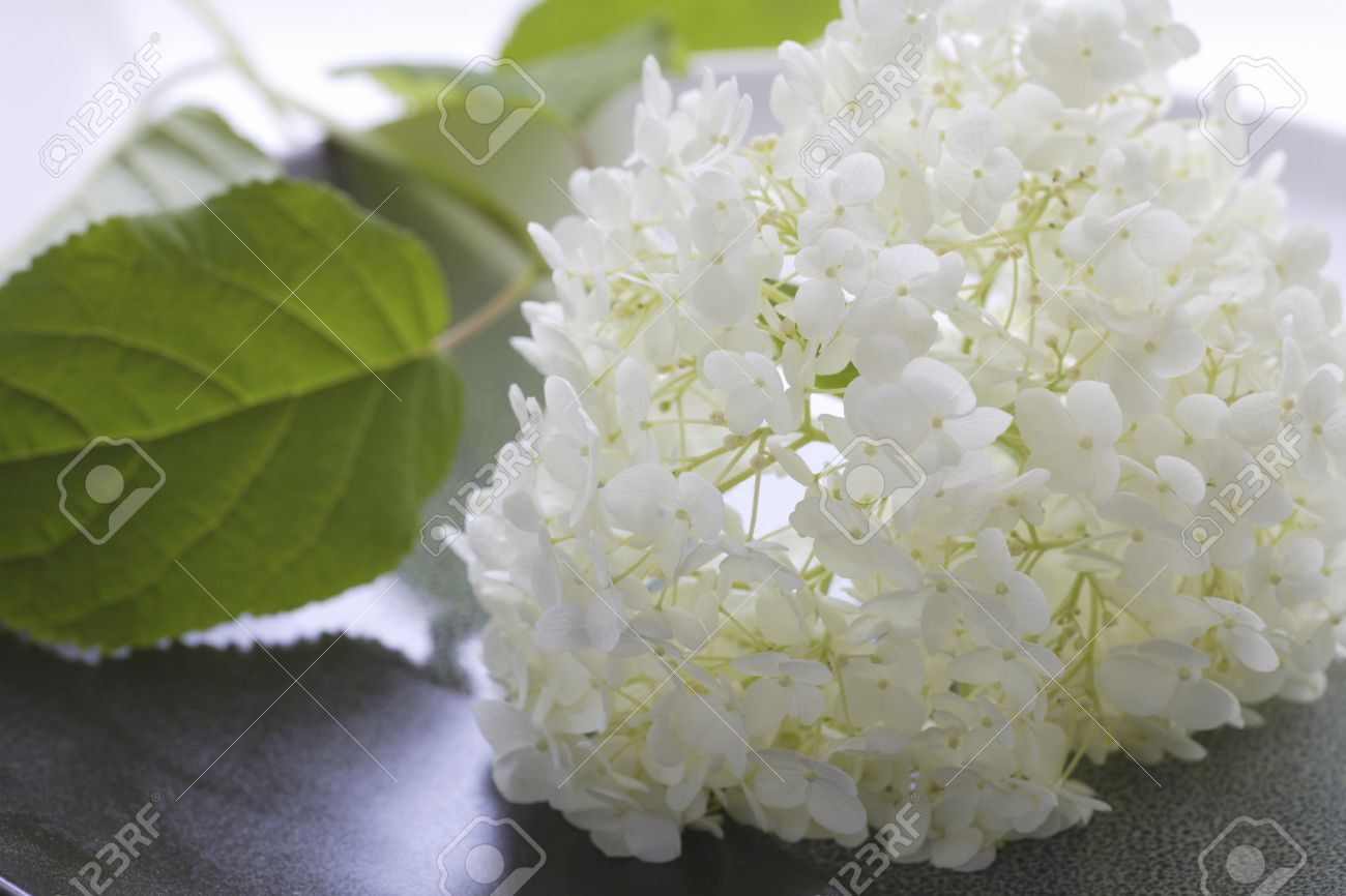 Close Up White Annabelle Flowers Stock Photo 43058346