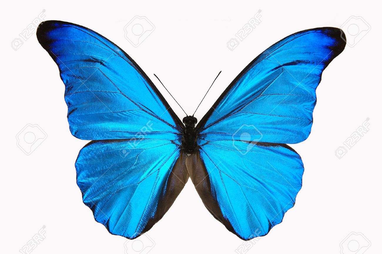 Blue Butterfly Stock Photo Picture And Royalty Free Image Image
