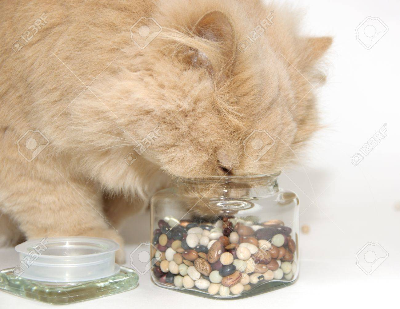 Persian cat smelling glass of cooking bean Stock Photo - 10989031