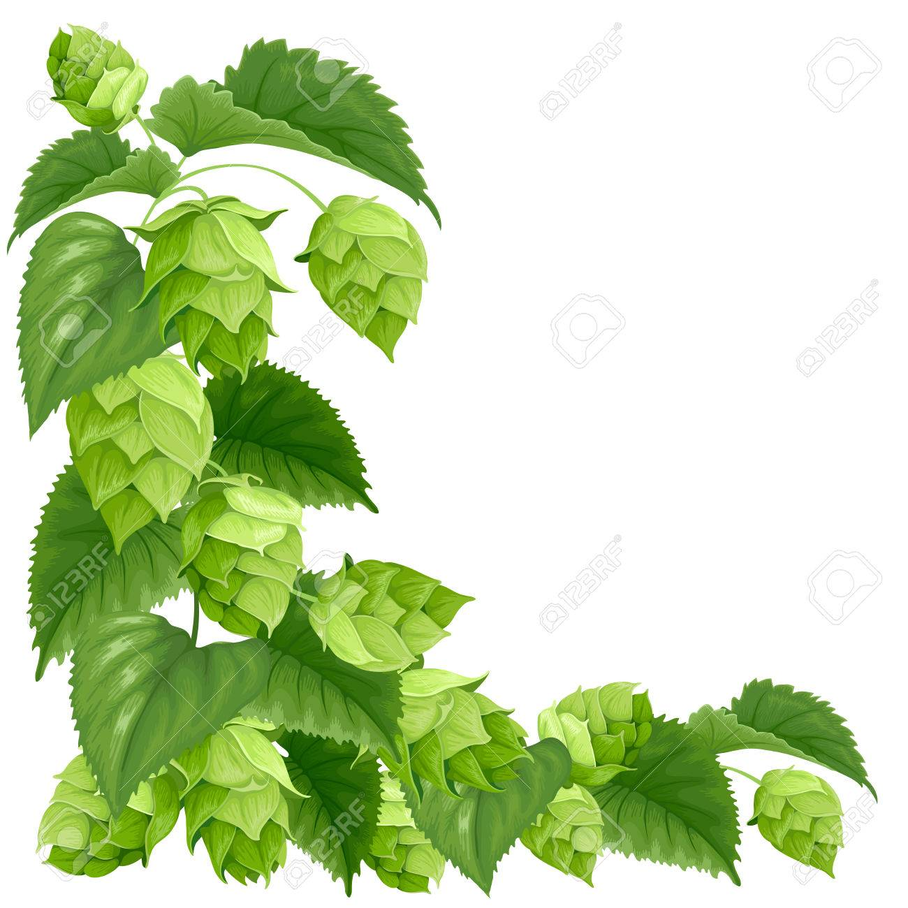 Branch of hops isolated on white background - 60915509