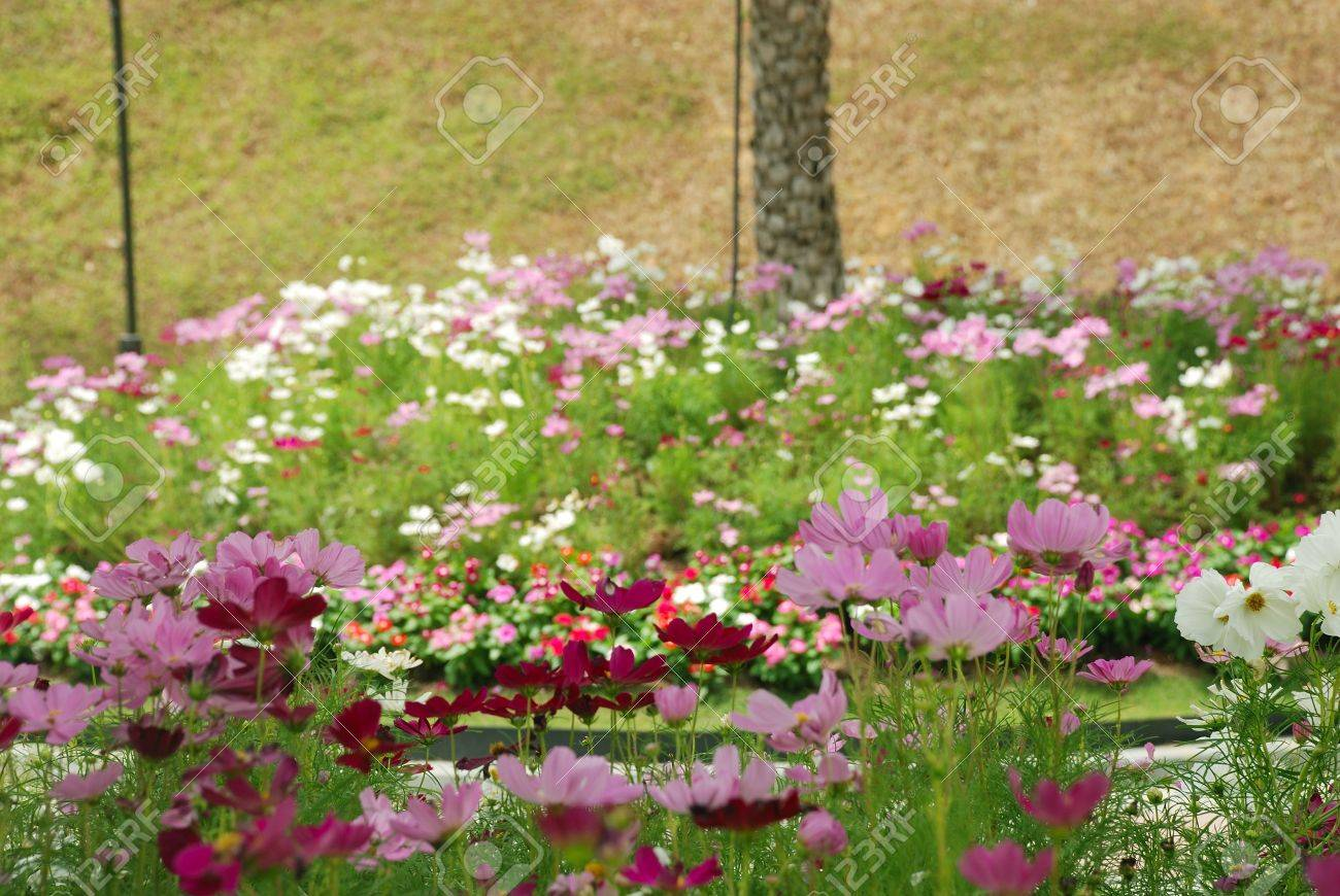 View Of A Colourful Cosmos Flower Garden At Singapore Stock Photo Picture And Royalty Free Image Image 4397624