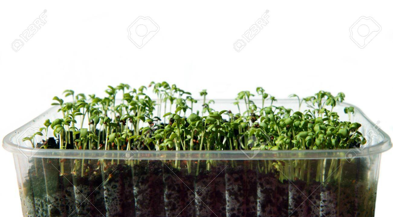 Close-up of fresh healthy green cress seeds Stock Photo - 12910050
