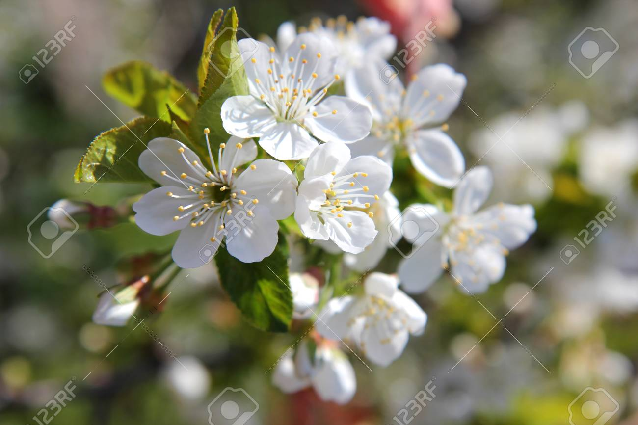 Blossoming Branch Of A Tree With White Flowers In The Spring Stock