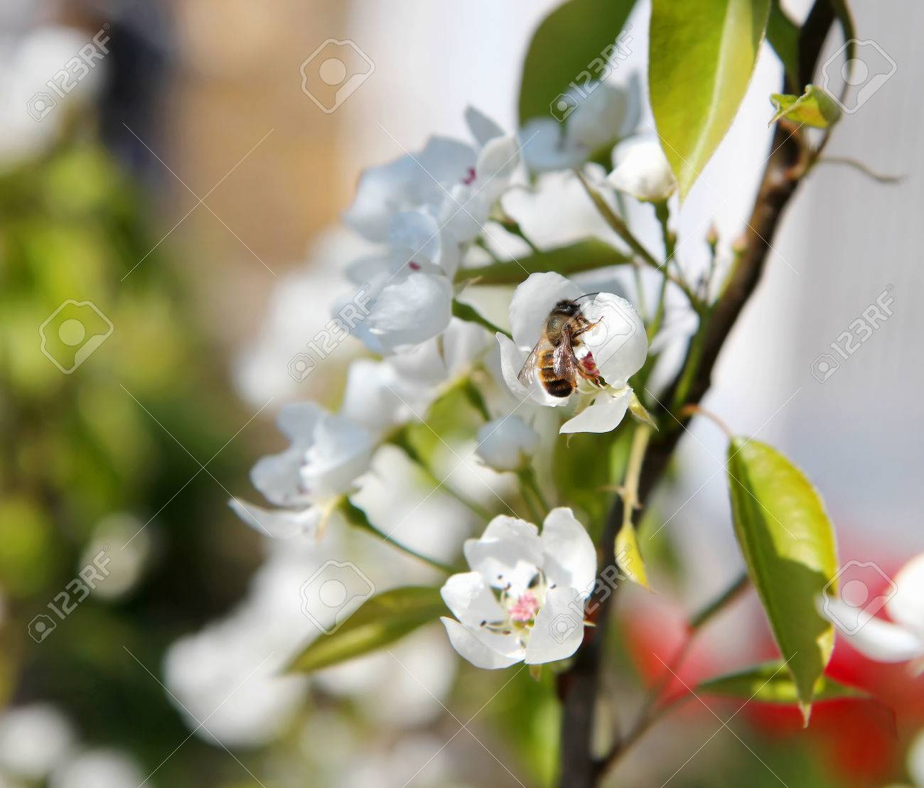 Bee Pollinating Flowering Branches Of A Tree With White Flowers