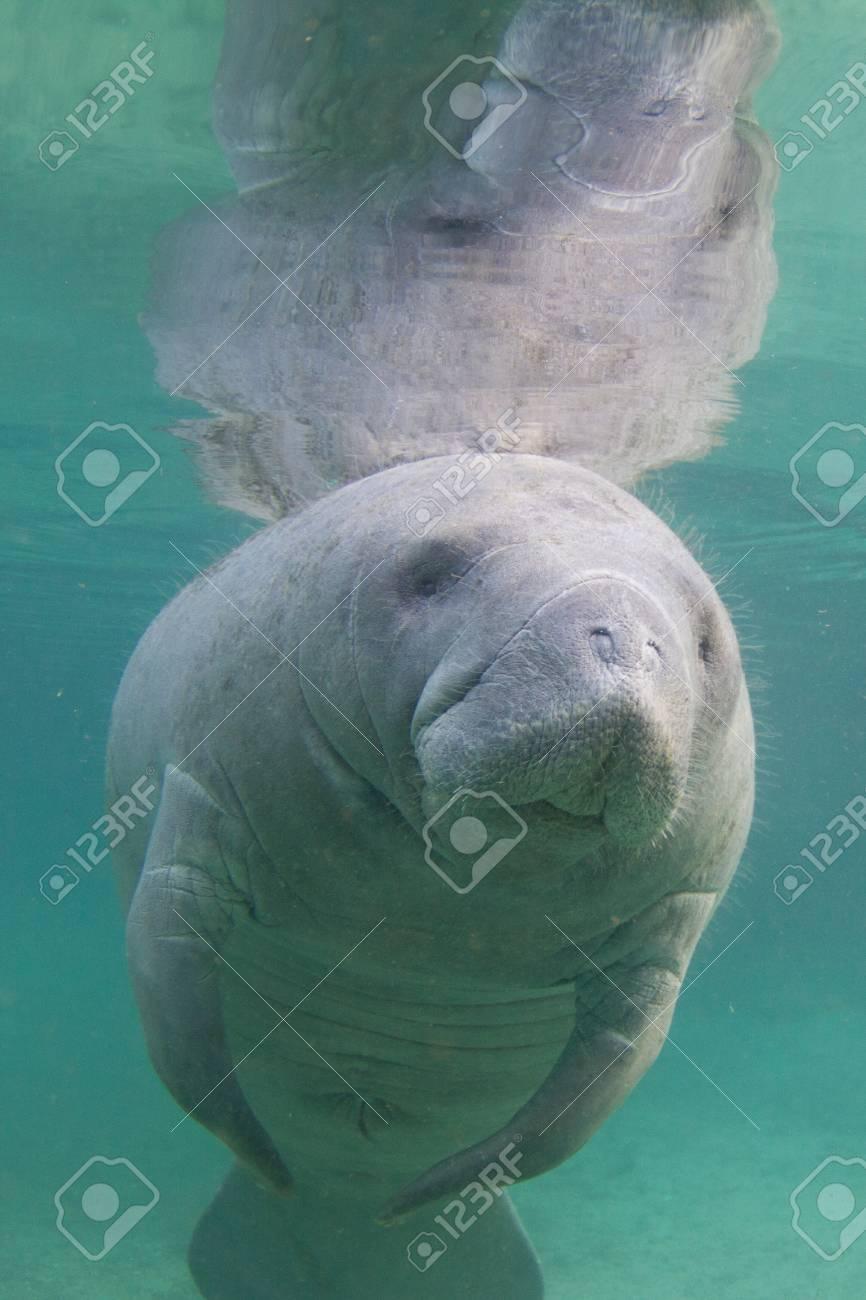 Manatee Underwater - 32348460