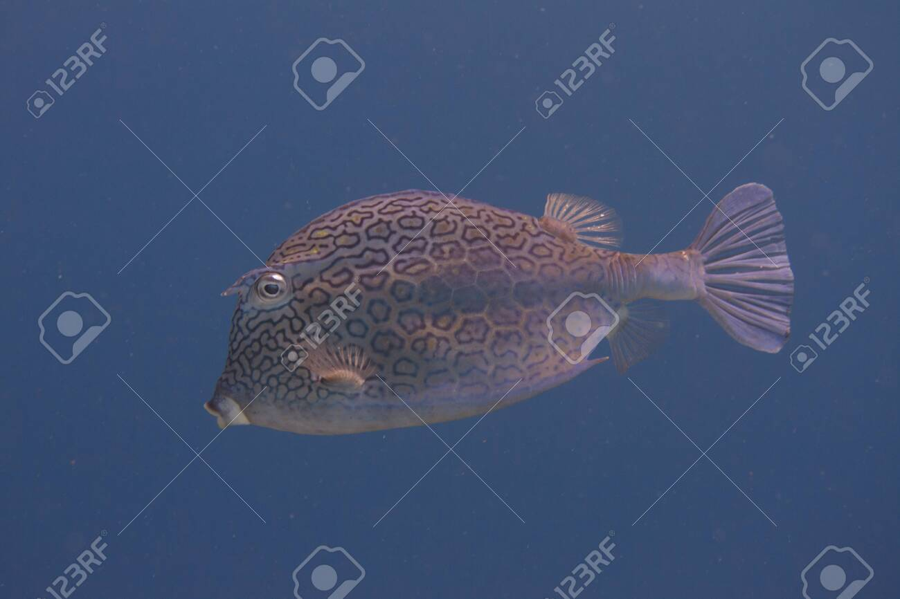 Honeycomb Cowfish on coral reef off Bonaire, Dutch Caribbean - 133545264