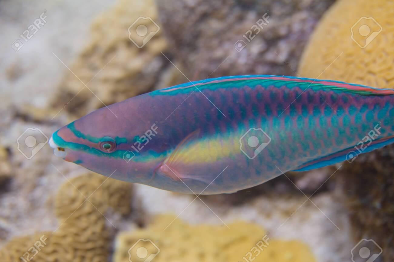 Princess Parrotfish on coral reef off Bonaire, Dutch Caribbean - 133545265