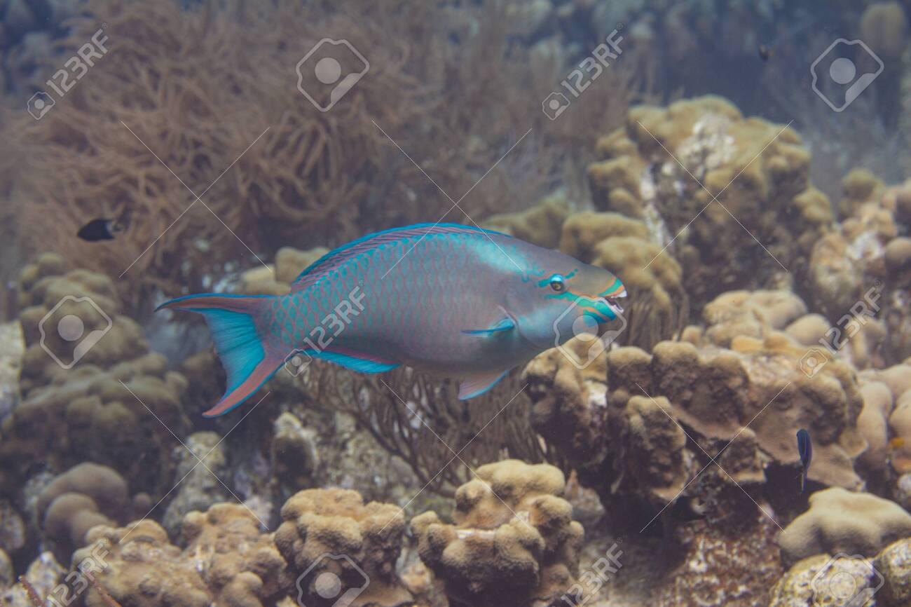 Queen Parrotfish on coral reef off Bonaire, Dutch Caribbean - 133545269