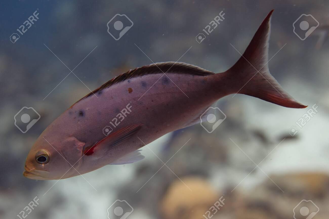 Creolefish on coral reef off Bonaire, Dutch Caribbean - 133545279