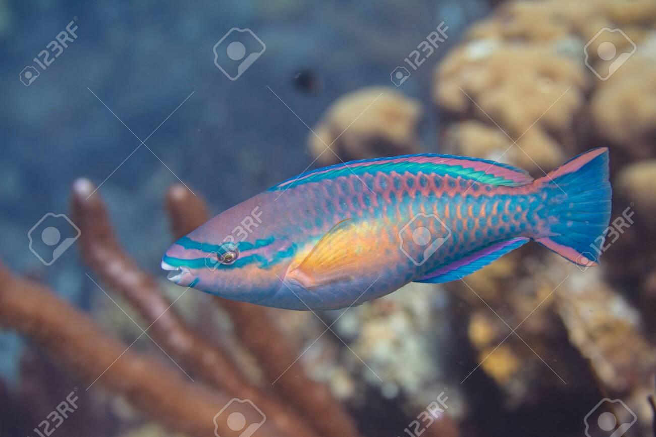 Princess Parrotfish on coral reef off Bonaire, Dutch Caribbean - 133545284