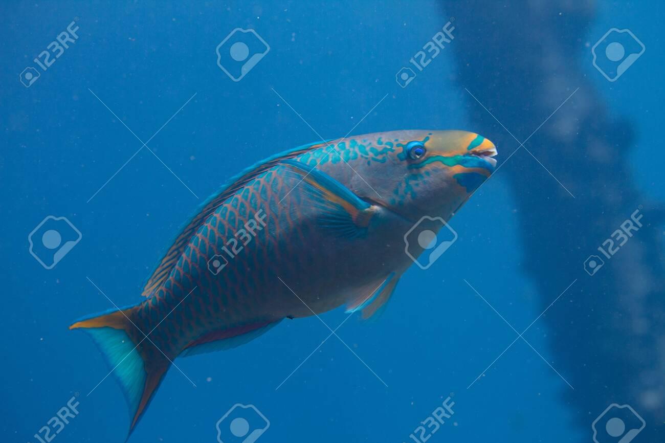 Queen Parrotfish on coral reef off Bonaire, Dutch Caribbean - 133545287