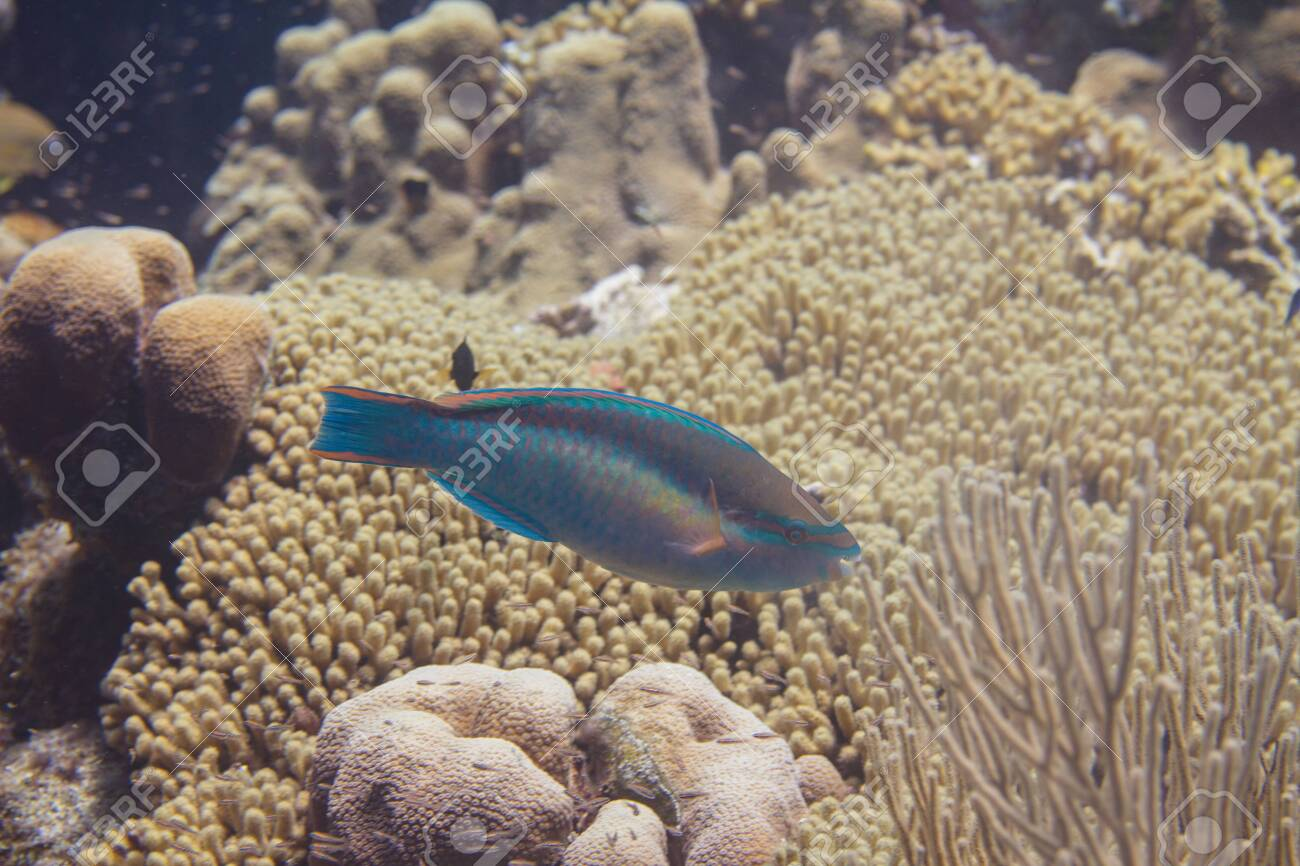 Princess Parrotfish on coral reef off Bonaire, Dutch Caribbean - 133545288
