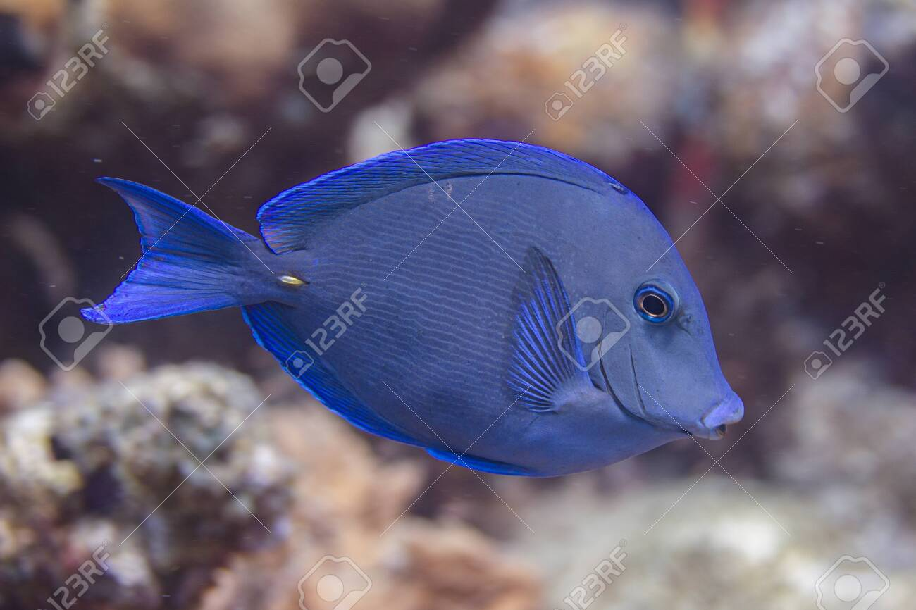 Atlantic Blue Tang On Coral Reef Off Bonaire Dutch Caribbean Stock Photo Picture And Royalty Free Image Image 133545289