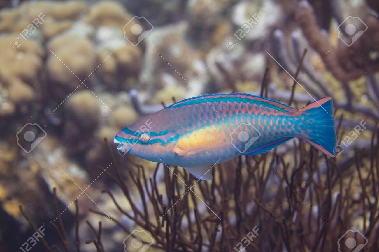 Princess Parrotfish on coral reef off Bonaire, Dutch Caribbean - 133545298
