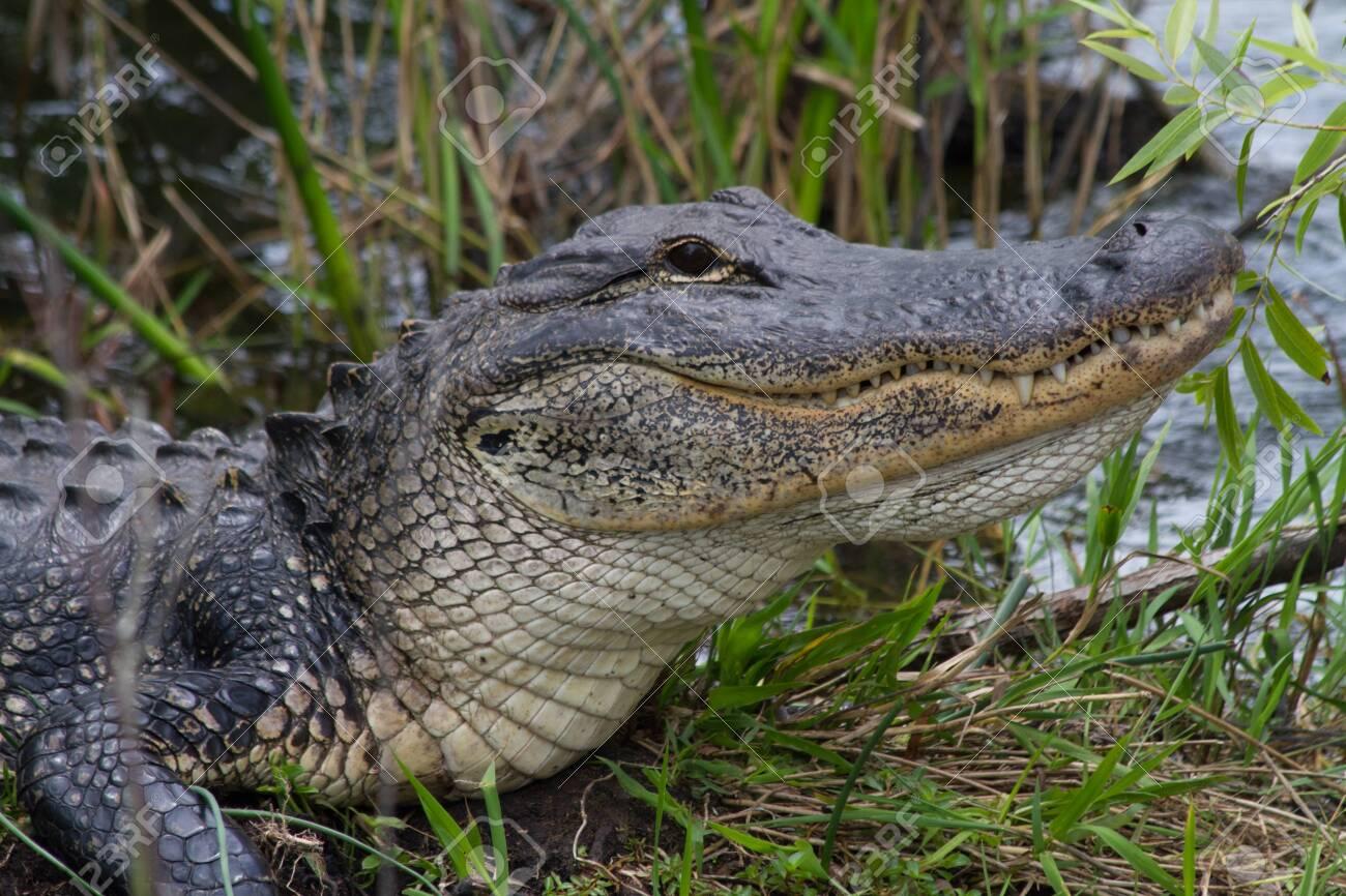 American Alligator in Florida Everglades - 137594660
