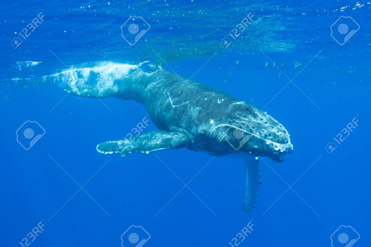 Humpback whale calf underwater off the island of Moorea in French Polynesia, right next to Tahiti. - 156419677
