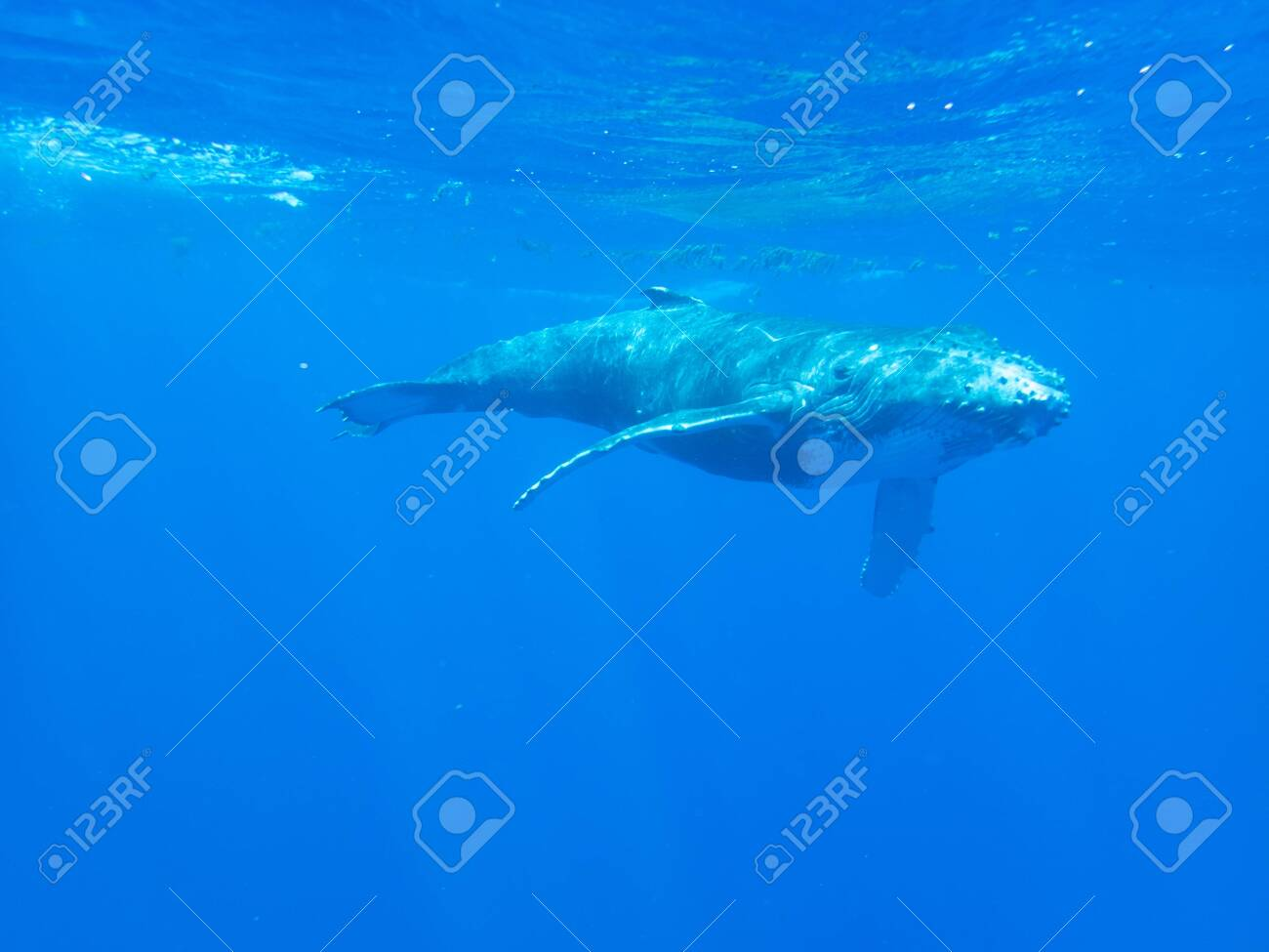 Humpback whale calf underwater off the island of Moorea in French Polynesia, right next to Tahiti. - 156419364