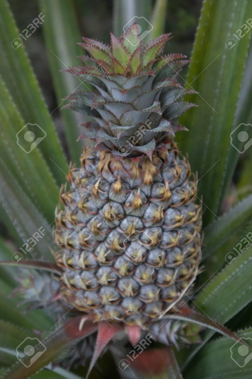 Pineapple fruit growing on Tahiti, French Polynesia - 156467266