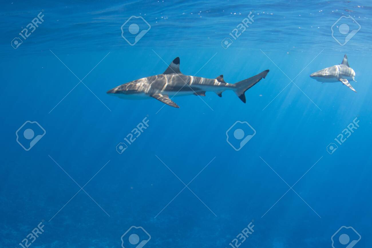 Blacktip Reef Sharks in the lagoon off Moorea, French Polynesia next to Tahiti - 156618484